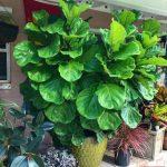Lirectid Ficus