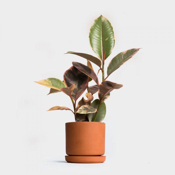 Ficus in een pot