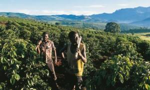 Zimbabwe coffee growing