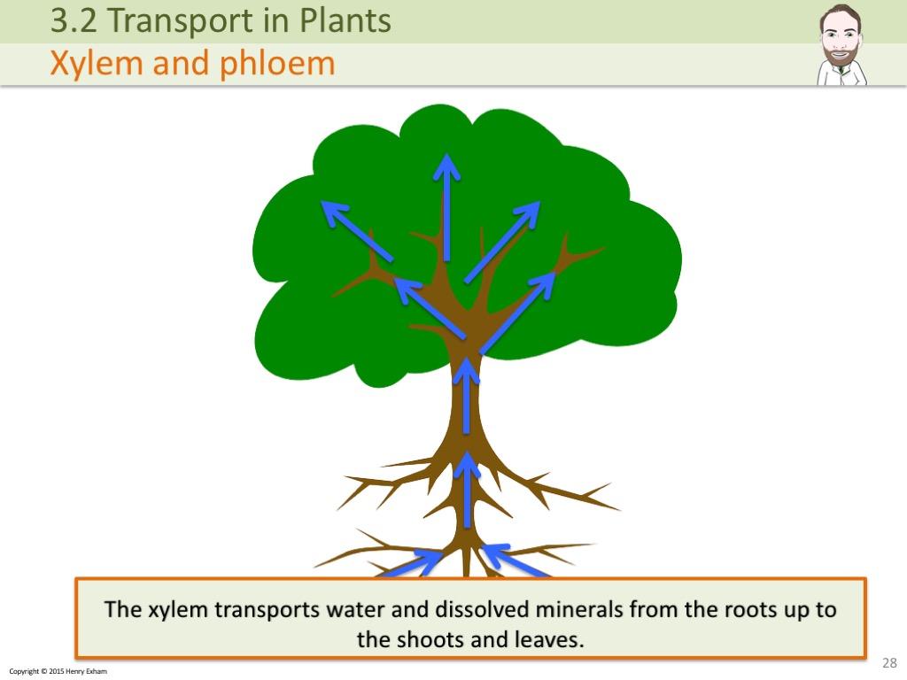 3 2 Transport In Plants