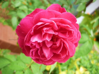 Rosa - what's in a name - when you are pure joy to visual and olfactory senses?