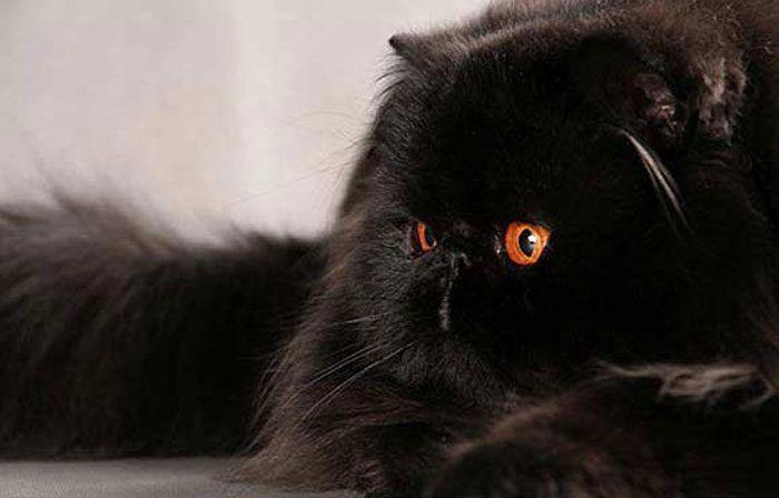 kucing hitam persia