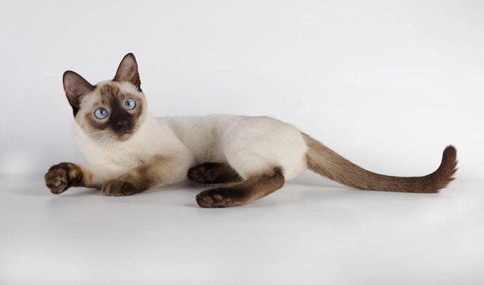 Thai termasuk kucing tercantik di dunia
