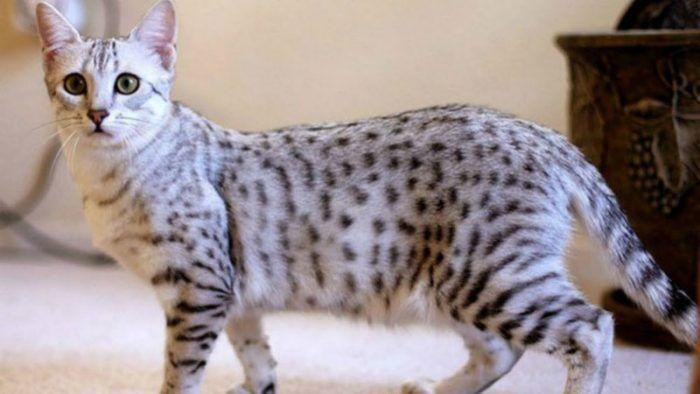 Kucing Mesir Mau