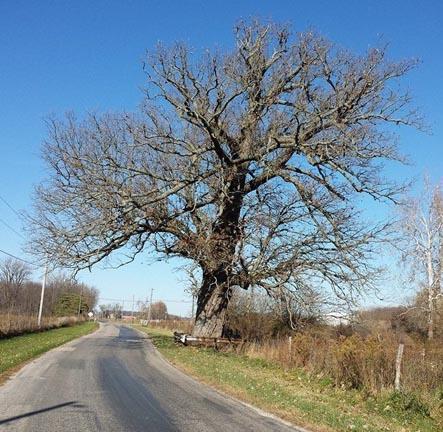 Burr Oak tree on Boundary Road