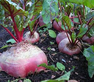 beetroot_large
