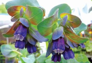 Cerinthe purpurescens_Shirley Reynolds cust-RT