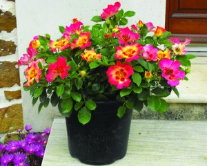 Rose Sweet Spot Calypso 4_Supp Tessalaar