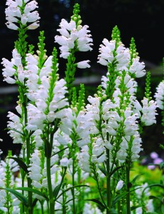 Physostegia virginiana Summer Snow