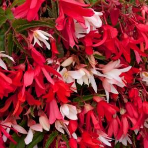 Begonia 'Starshine Mixed'