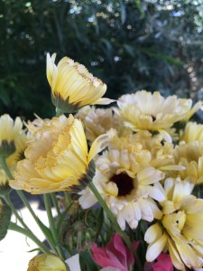 Calendula 'Snow Princess'
