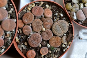 Lithops Mixed