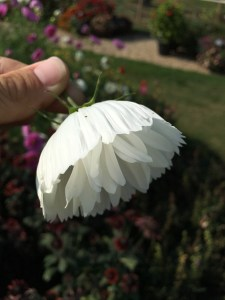 Cosmos 'Cupcakes White'
