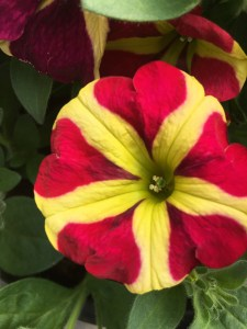 Petunia 'Queen of Hearts'