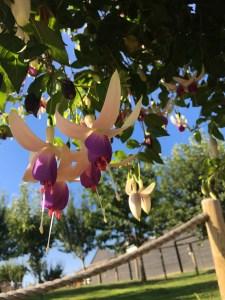 Fuchsia 'Mr Blue Sky'