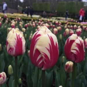 Tulip 'Ripple Series'