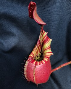 Nepenthes (Insect Eating Plant)