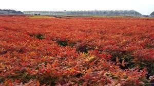 Nandina Blush Pink: foliage plant