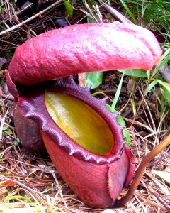 Unusual plants: King pitcher plant