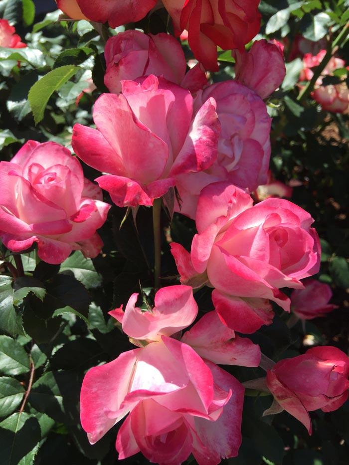 5 tips for awesome roses - Pink Roses