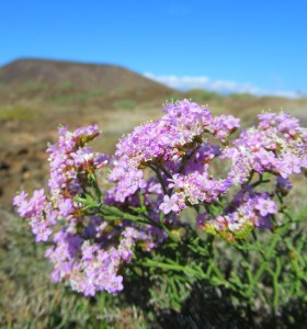 Unusual plants: A rare sea lavender that grows only on one tiny island in the Atlantic