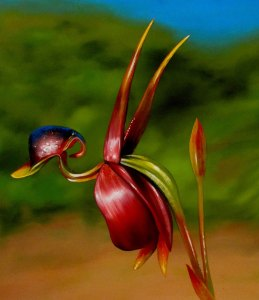 Unusual Plants - Flying duck orchid
