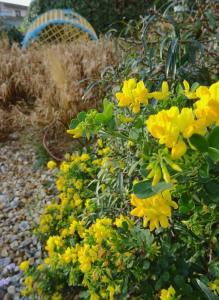 Coastal Garden: Coronilla glauca