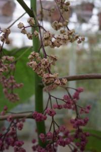 Weird Plants: Dendrocnide Moroides