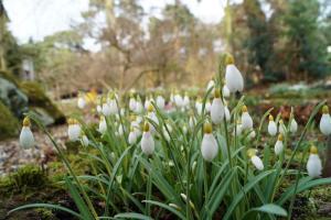 Galanthus 'Primrose Warburg' Cornovium Snowdrops