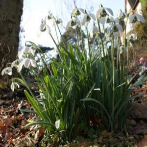 Galanthus 'White Swan' Cornovium Snowdrops