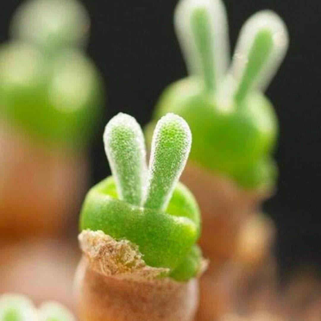 Weird Plants: Monilaria Obconica