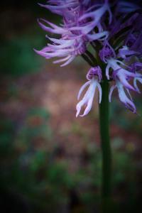 Weird Plants: Orcis Italica