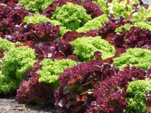 Gradening jobs: Harvest early salads