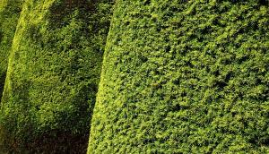 Gardening jobs for August: Trim yew hedges