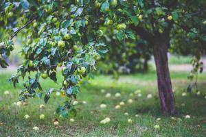 Gardening jobs for December: Prune apple trees