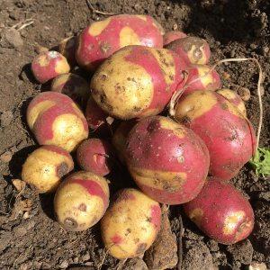 Gardening jobs February: Chit potatoes