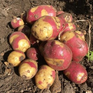 Gardening jobs February: Chit potatoes