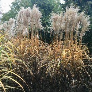 Cut back deciduous grasses