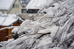 Gardening jobs: Snow on branches