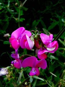 Gardening jobs for July: Pick sweet peas