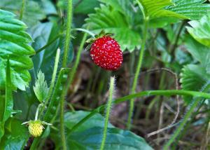 Gardening jobs for June: Pick Strawberries