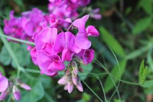 Gardening jobs for June: Tie in sweet peas