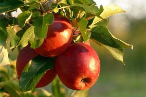 Gardening jobs for May: Place pheromone traps for codling moths in apple trees
