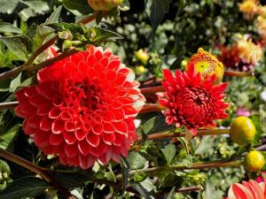 Gardening jobs for May: Plant out dahlias