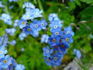 Gardening jobs for May: Remove forget-me-nots