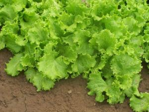 Gardening jobs for May: Continual sowing of salads
