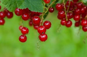 Gardening jobs for November: Take hardwood cuttings of red currants