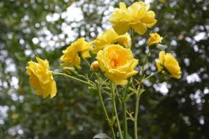 Gardening jobs for September: Prune climbing roses