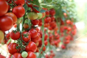 Gardening jobs for September: Ripen tomatoes