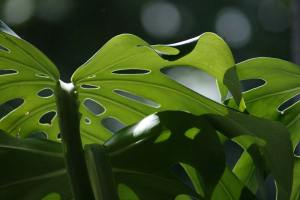 Plant Evolution: Monstera